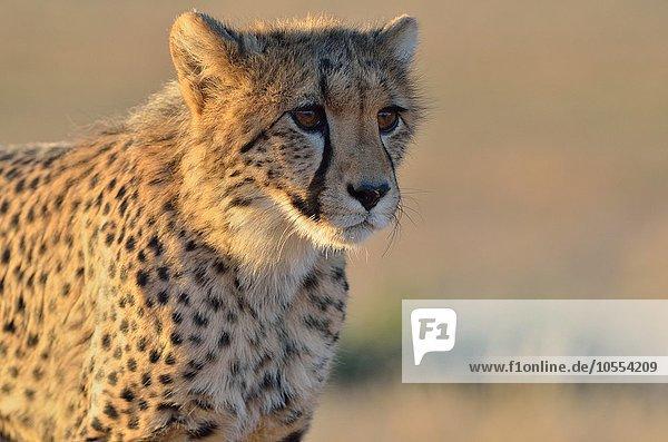 Young Cheetah (Acinonyx jubatus)  alert  in the evening light  Kgalagadi Transfrontier Park  Northern Cape  South Africa  Africa