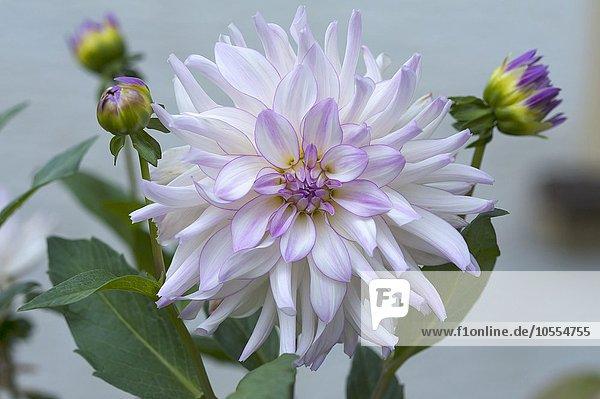 Weiß-lila Blüte einer Dahlie mit Knospen (Dahlia sp.)  Bayern  Deutschland  Europa