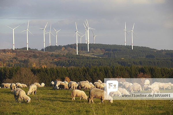 Sheep grazing in front of wind turbines in Waigandshain  Westerwald  Rhineland-Palatinate  Germany  Europe