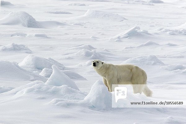 Eisbär (Ursus maritimus) läuft auf Packeis  Spitzbergen  Norwegen  Europa
