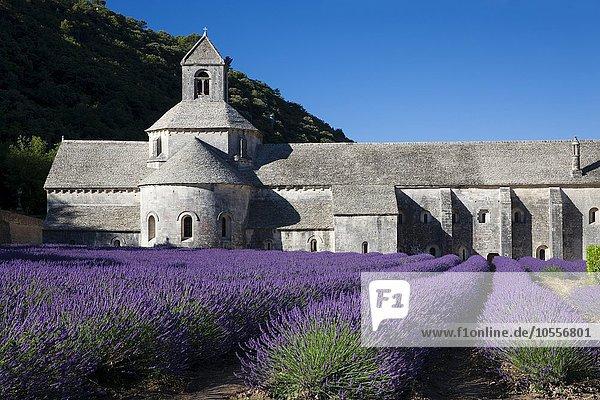 Cistercian abbey Abbaye Notre-Dame de Senanque with lavender field  Vaucluse  Provence  Provence-Alpes-Côte d'Azur  France  Europe