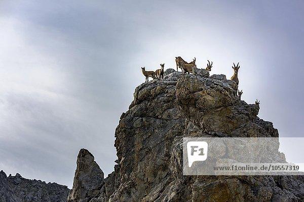 Alpensteinbock (Capra ibex)  Rudel mit Jungtieren auf Felsen  Gramais  Lechtal  Tirol  Österreich  Europa