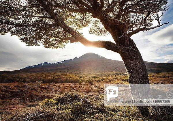 Einzelner Baum vor Berg  Archipielago Cormoranes  Tierra del Fuego Nationalpark  Feuerland  Argentinien  Südamerika