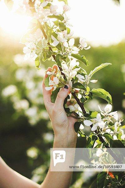 Ausschnitt aus der Hand junger Frauen mit blühendem Baumzweig