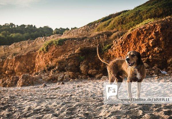 Strand Hund hinaussehen
