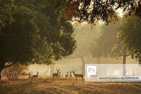 Gruppe von Impala (Aepyceros melampus)  Mana Pools Nationalpark  Simbabwe
