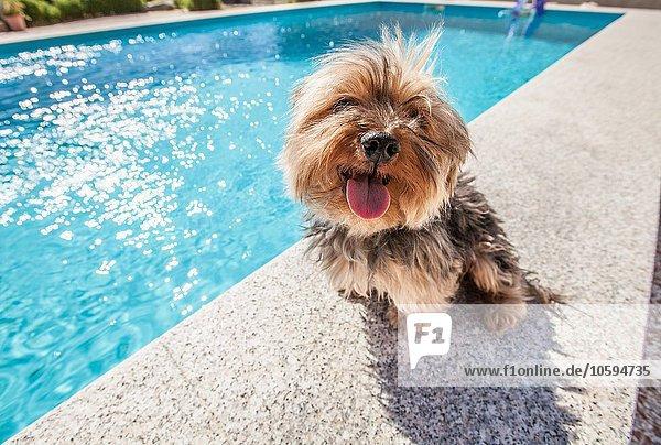 Hund sitzend am Schwimmbad an einem sonnigen Tag Hund sitzend am Schwimmbad an einem sonnigen Tag