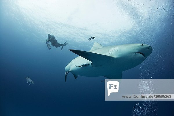 A female bull shark cruises mid water while a diver ascends on the background  Playa del Carmen  Quintana Roo  Mexico