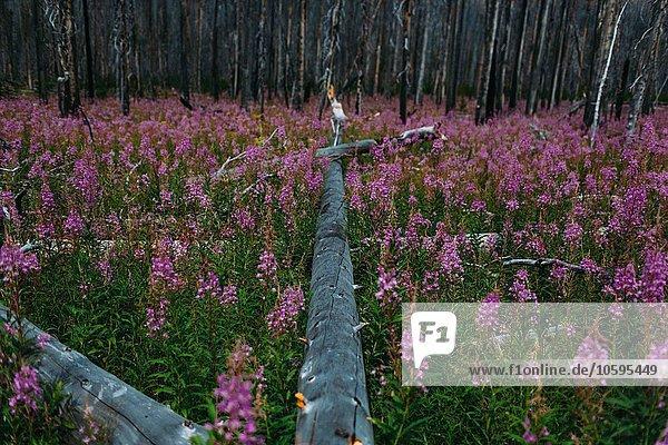 Abnehmende Perspektive des umgestürzten Baumes im Feld der Wildblumen  Moränensee  Banff Nationalpark  Alberta Kanada