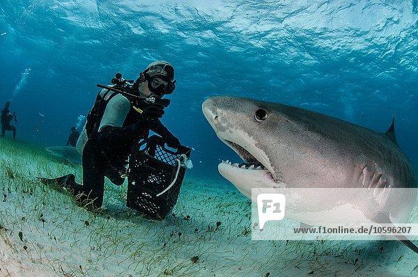 Unterwasseransicht von Taucher auf dem Meeresgrund  Tigerhai  Tiger Beach  Bahamas