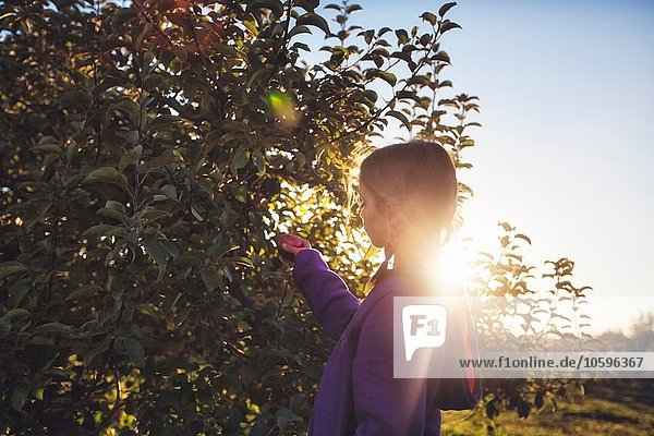Side view of girl in orchard picking apple from tree