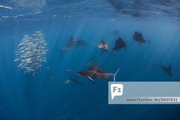 Unterwasser-Seitenansicht des Atlantischen Segelfisches  der Sardinenköder jagt  Cancun  Mexiko