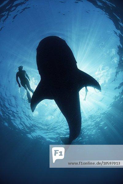 Unterwasseransicht von unten ein unvorsichtiger Walhai von Taucher  der längsseits schwimmt  hinterleuchtet  Isla Mujeres  Mexiko