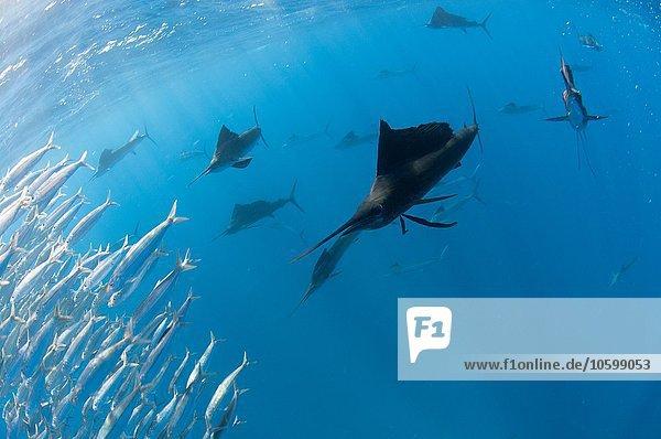 Unterwasseransicht einer Gruppe von Segelfischen  die große Sardinenschwärme in der Nähe der Oberfläche einsperren  Contoy Island  Quintana Roo  Mexico