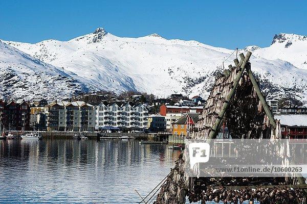 Kabeljau-Trocknung am Wasser  Svolvaer  Lofoten  Norwegen