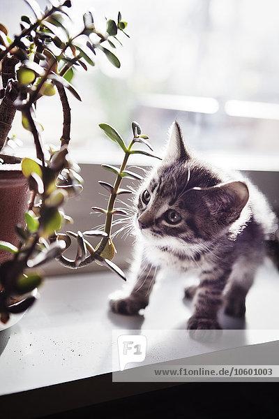 sehen Blume Fensterbank Kätzchen Katze