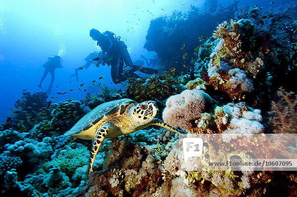 Landschildkröte Schildkröte Taucher