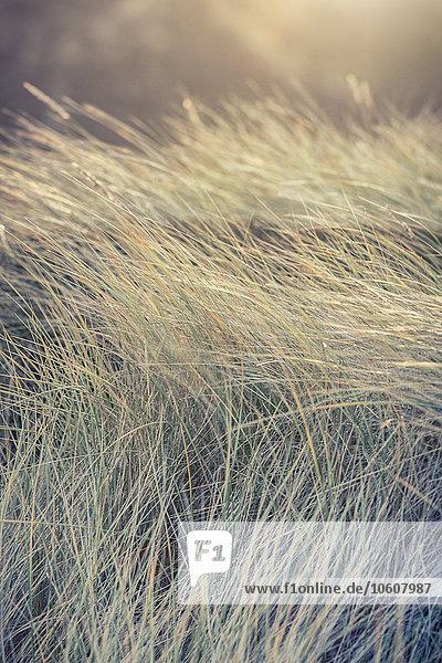 Dünengräser im Sonnenlicht  Sylt  Schleswig-Holstein  Deutschland  Europa Dünengräser im Sonnenlicht, Sylt, Schleswig-Holstein, Deutschland, Europa