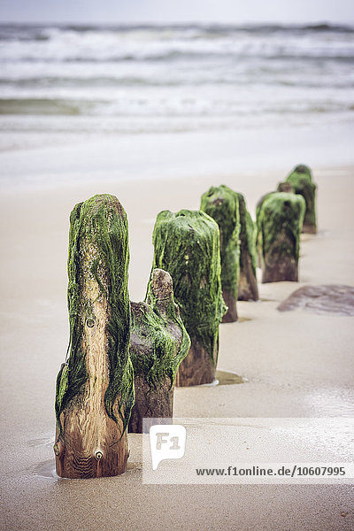 Algen an Buhnen  Westerland  Sylt  Schleswig-Holstein  Deutschland  Europa