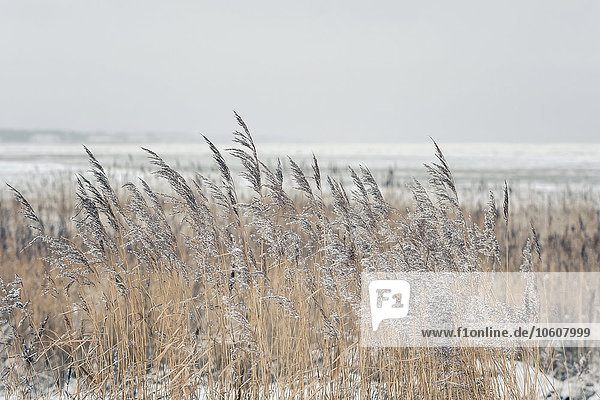Reed in frost,  Sylt,  Schleswig-Holstein,  Germany,  Europe