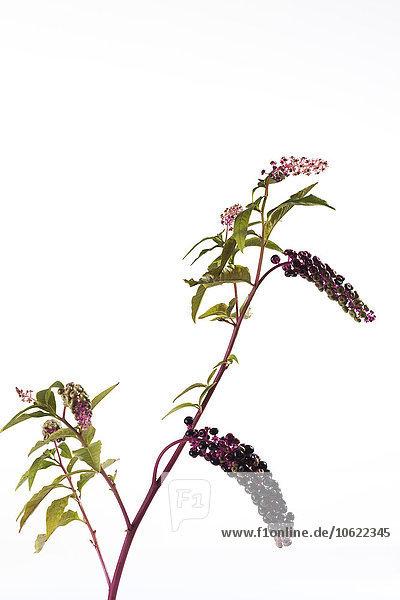 Zweig des amerikanischen Stechapfels vor weißem Hintergrund