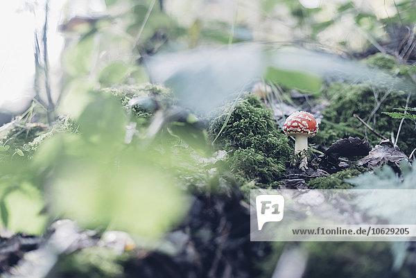 Deutschland  Sachsen  Fliegenpilzanbau auf Waldboden