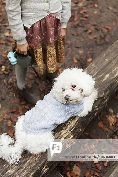 High angle view of Bichon Frise relaxing on log in forest