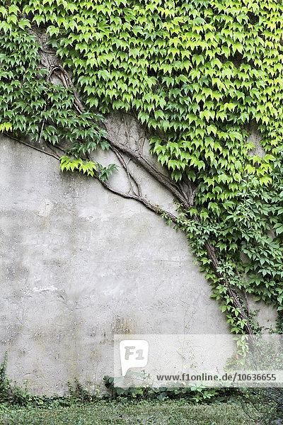 Detail von Efeu an der Wand eines Gebäudes