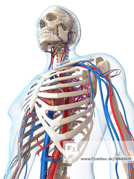 Vascular system  artwork