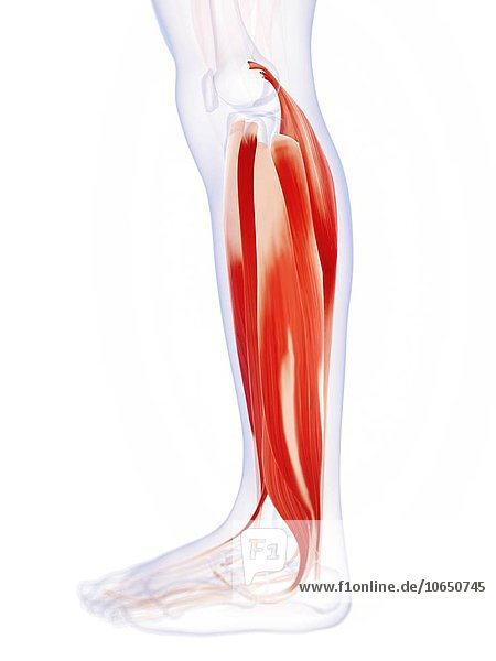 Human calf muscles  artwork