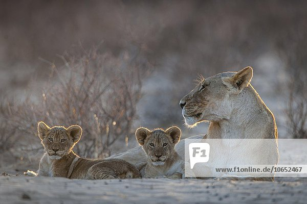 Lioness (Panthera leo) with two cubs  Kgalagadi Transfrontier Park  Northern Cape  South Africa  Africa