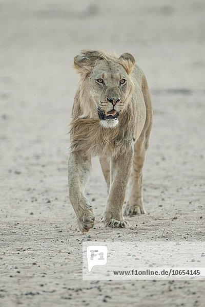 Young lion (Panthera leo)  male walking  Kgalagadi Transfrontier Park  Northern Cape Province  South Africa  Africa