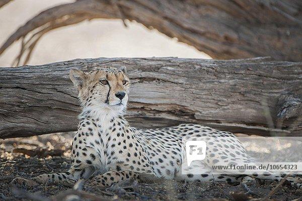 Gepard (Acinonyx jubatus) ruht im Schatten von einem Baum  Kgalagadi-Transfrontier-Nationalpark  Nordkap Provinz  Südafrika