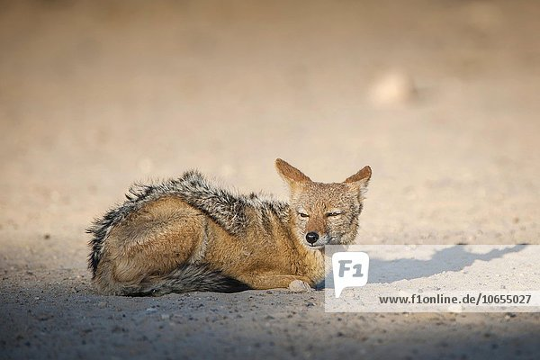 Black-backed jackal (Canis mesomelas) resting on the ground  Kgalagadi Transfrontier National Park  Northern Cape Province  South Africa  Africa