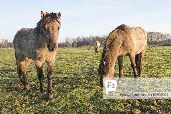 Tarpane (Equus ferus ferus)  Rückzüchtung  Wacholderhain Haselünne  Emsland  Niedersachsen  Deutschland  Europa