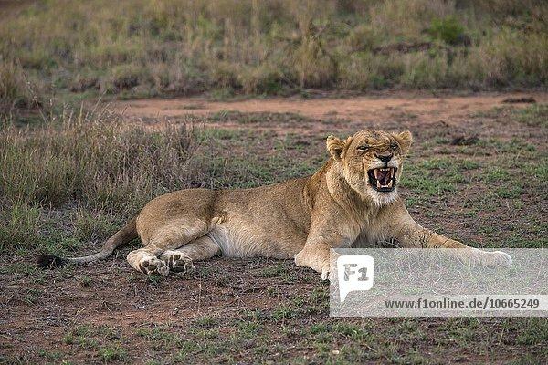 Lioness (Panthera leo) baring teeth  Sabi Sands Game Reserve  Sabi Sabi Bush Lodge  South Africa  Africa
