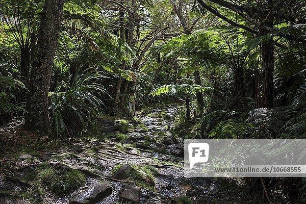 Wanderweg  tropischer Regenwald  Forêt de Bélouve  Urwald  La Réunion  Frankreich  Europa