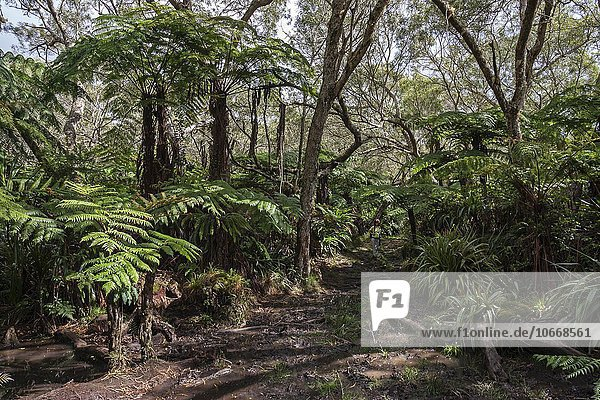 Wanderweg,  tropischer Regenwald,  Forêt de Bélouve,  Urwald,  La Réunion,  Frankreich,  Europa