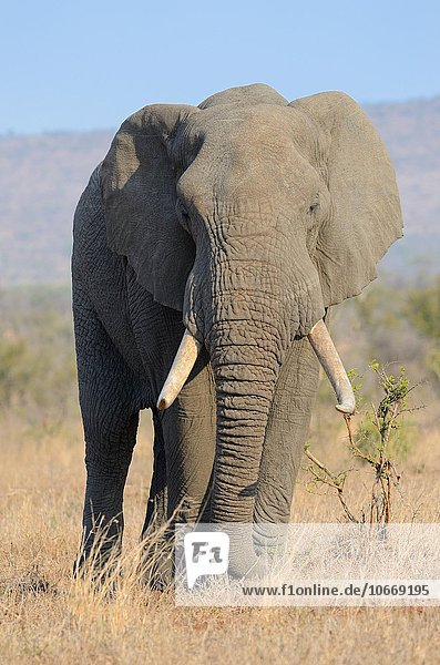 Afrikanischer Elefant (Loxodonta africana)  Bulle  beim Fressen  Krüger-Nationalpark  Südafrika