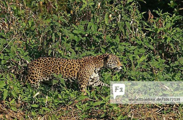 Jaguar (Panthera onca) streift am Ufer entlang  Pantanal  Mato Grosso  Brasilien  Südamerika