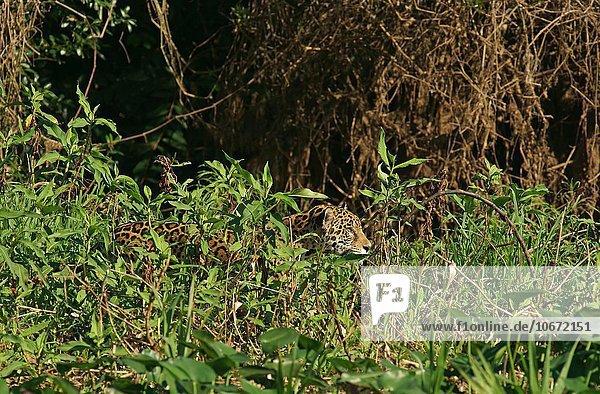 Jaguar (Panthera onca) streift getarnt am Ufer entlang  Pantanal  Mato Grosso  Brasilien  Südamerika