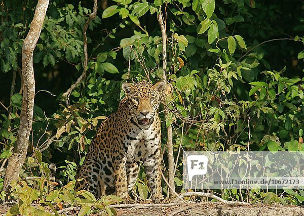 Jaguar (Panthera onca) sitzt am Ufer  Pantanal  Mato Grosso  Brasilien  Südamerika