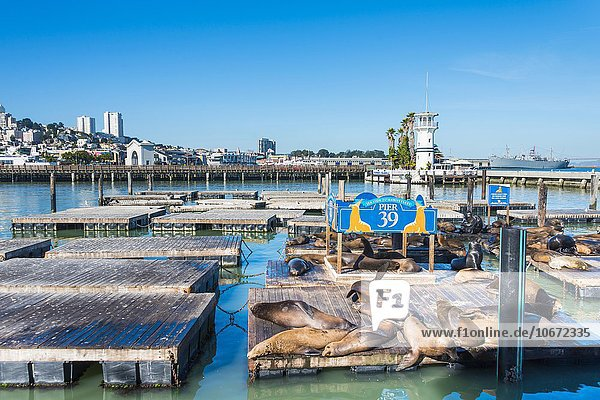 Kalifornische Seelöwen (Zalophus californianus) am Pier 39  Fisherman's Warf  San Francisco  Kalifornien  Vereinigte Staaten von Amerika
