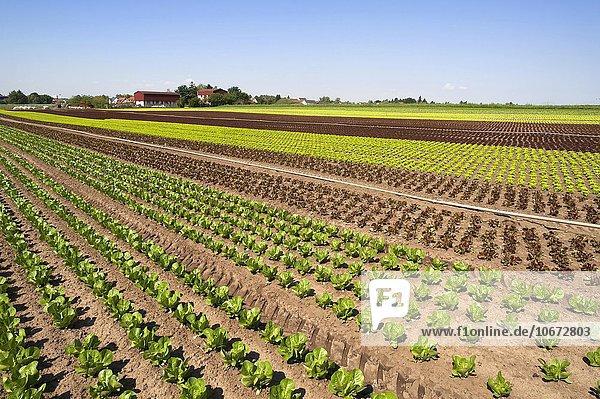 Salat  Anbau im Knoblauchsland  Anbaugebiet in Höfles bei Nürnberg  Mittelfranken  Bayern  Deutschland  Europa