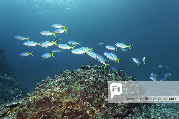Schwarm Gelber Blaurücken Füsilier (Caesio teres)  schwimmt über kleines Riff überzogen mit Schwamm  Saparua Insel  Molukken  Banda See  Pazifik  Indonesien  Pazifik  Asien