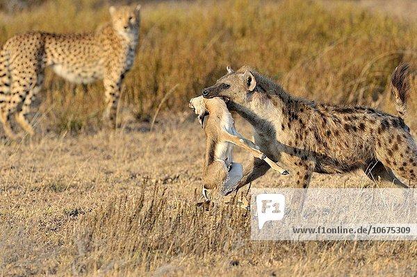 Gepard Acinonyx jubatus sehen Hintergrund töten Punkt Gazelle Tansania