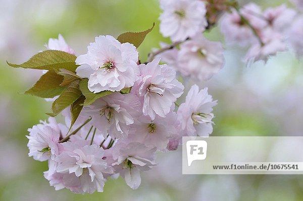 Japanische Blütenkirsche (Prunus serrulata)  Zweig mit Blüten  Nordrhein-Westfalen  Deutschland  Europa
