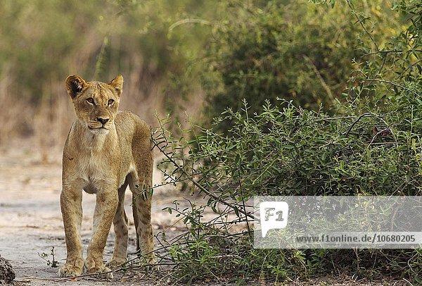 Lion (Panthera leo)  young  skinny and hungry female  Chobe National Park  Botswana  Africa