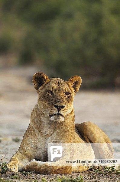Lion (Panthera leo)  resting female  Chobe National Park  Botswana  Africa