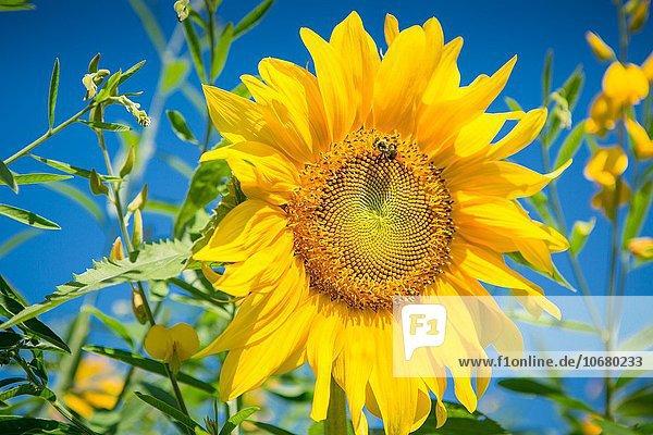 Helligkeit, Sonnenblume, helianthus annuus, gelb, Himmel, frontal, blau, Hummel